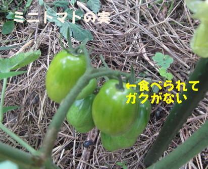 ミニトマトに (1)