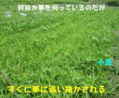 草の中の小豆