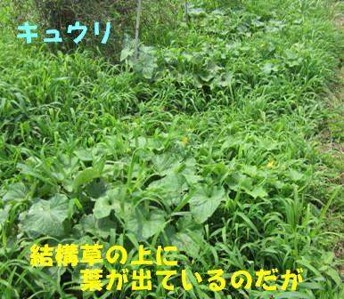 草の中のきゅうり