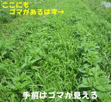 草の中のゴマ