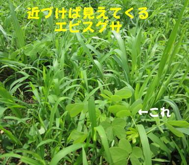 草の中エビスグサ