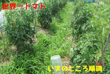 草整理トマト