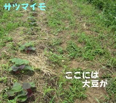 サツマイモ (1)