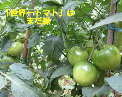 2013今年の菜園トマト (3)