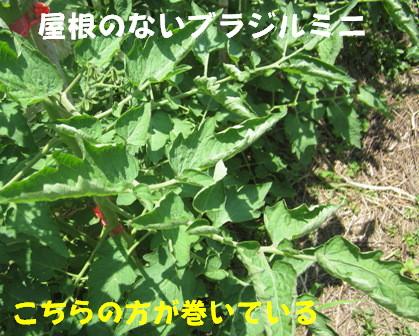 2013今年の菜園トマト (6)