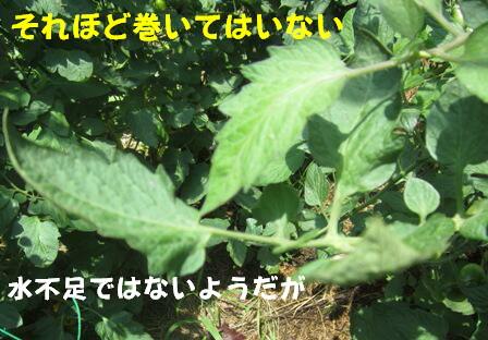 2013今年の菜園トマト (5)