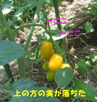 2013今年の菜園トマト (4)