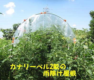 2013今年の菜園トマト (1)