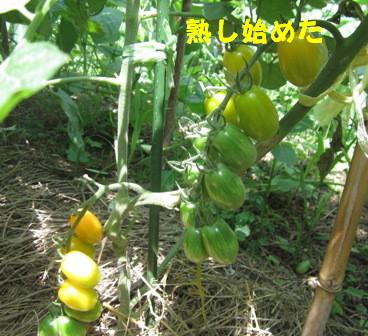 2013今年の菜園トマト (2)