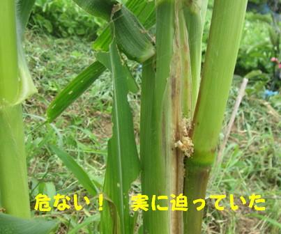 アワノメイガの幼虫 (5)