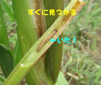 アワノメイガの幼虫 (4)
