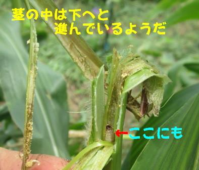 アワノメイガの幼虫 (6)