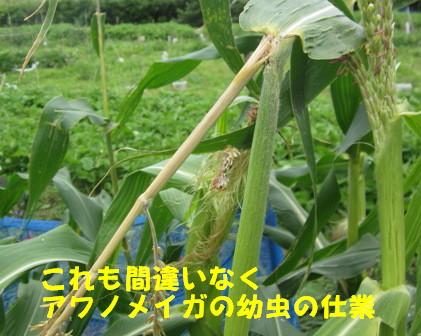 アワノメイガの幼虫 (2)