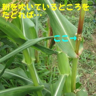 アワノメイガの幼虫 (3)