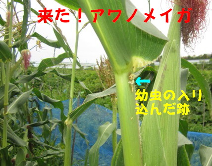 アワノメイガの幼虫 (1)