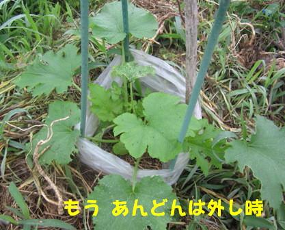 直播きズッキーニ収穫4