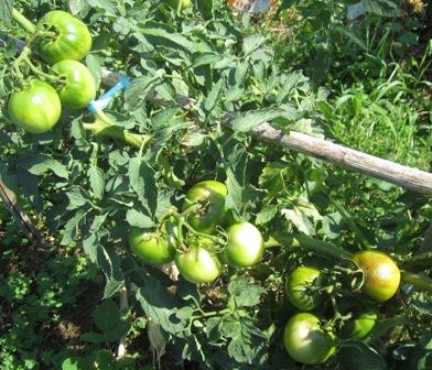 世界一トマト完熟 (3)