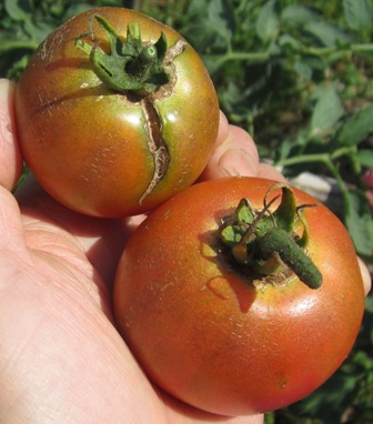 世界一トマト完熟 (2)
