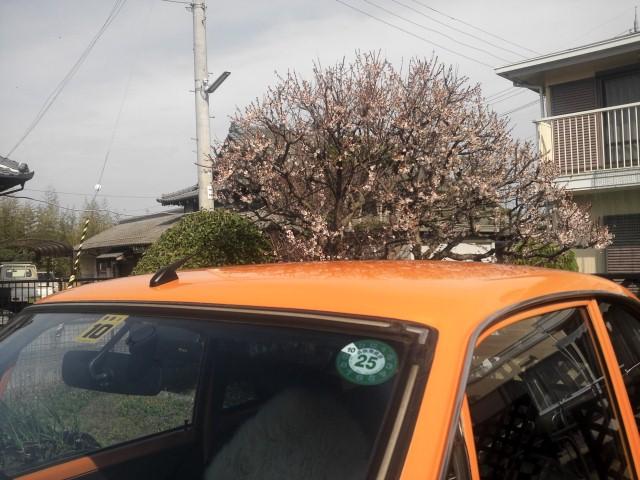 梅は咲いたか桜はまだかいな1