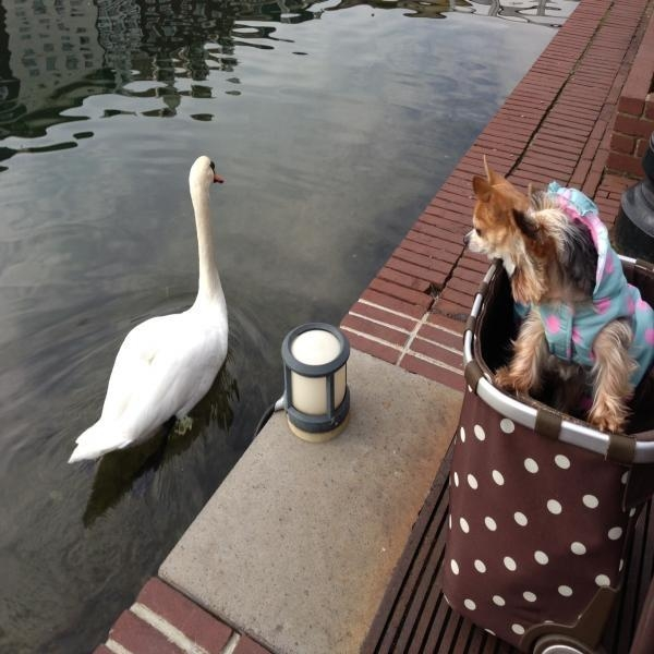 白鳥とモエ・スッピー縮小