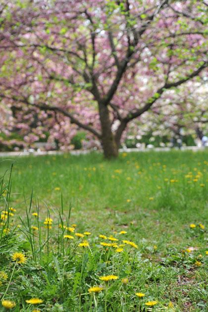 蒲公英と八重桜