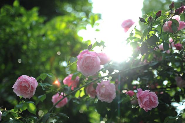 薔薇と太陽
