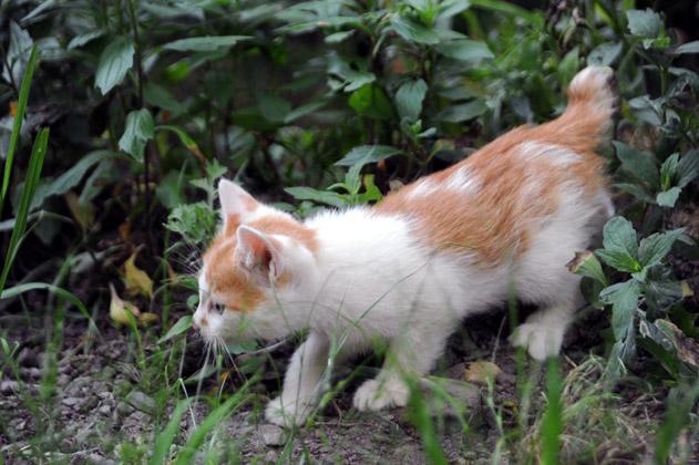 茶白の仔猫登場!