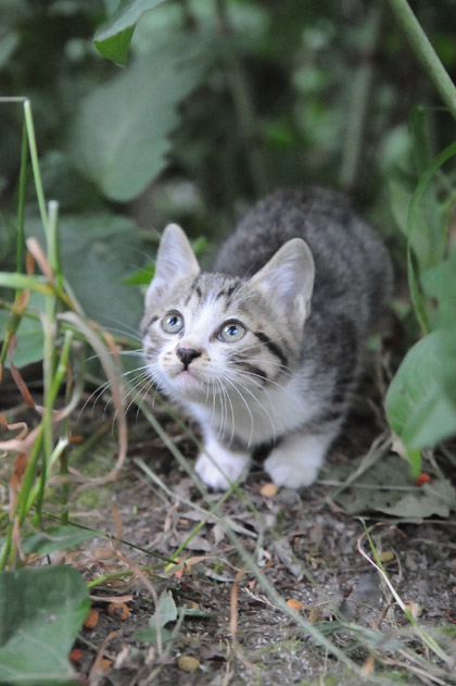 草叢とサバ白仔猫
