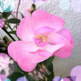 rose001.jpg