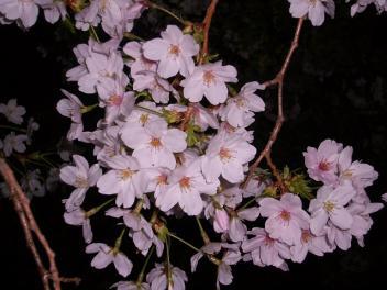 夜桜 P1100251-e640