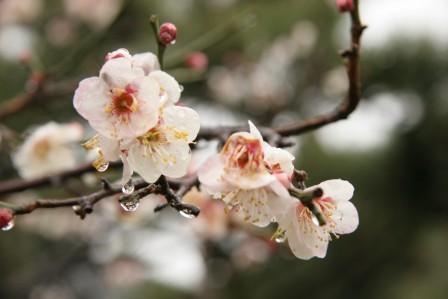 清涼寺の阿弥陀堂前の白梅_H17.02.19撮影