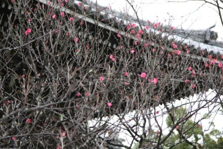 清涼寺の釈迦堂脇の軒端梅_H17.02.19撮影