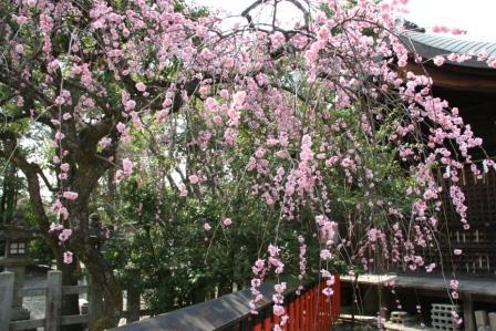車折神社本殿前の枝垂れ梅_H25.3.16撮影