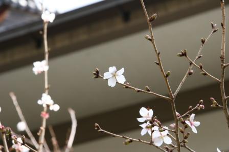 車折神社社務所脇の溪仙桜_H25.3.16撮影