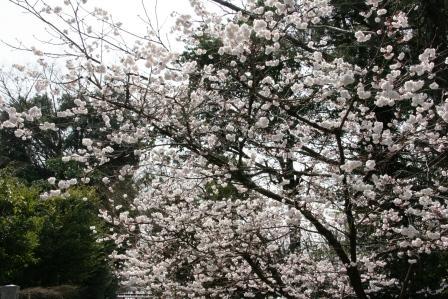 車折神社の河津桜_H25.3.16撮影