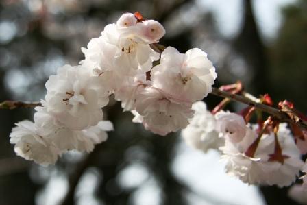 車折神社の桜_