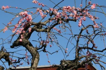 民家の梅の木_H25.03.16撮影