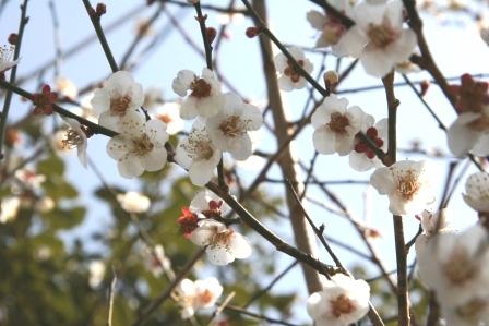 仁和寺裏の白梅_H25.03.18撮影