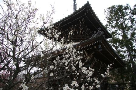 清涼寺三重塔前の白梅_H25.03.16撮影