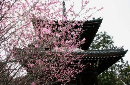 清涼寺三重塔前の紅梅_H25.03.16撮影