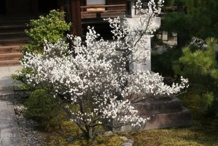 清涼寺阿弥陀堂前の白梅_H25.03.16撮影