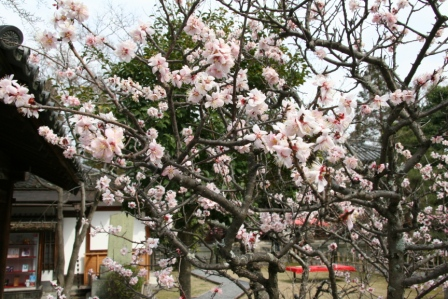 清涼寺湯豆腐竹仙の白梅_H25.03.16撮影