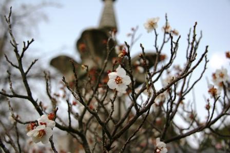 清涼寺源昇公墓碑の脇の白梅_H25.3.16撮影