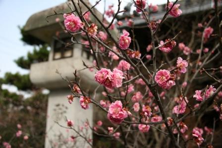 清涼寺阿弥陀堂前の紅梅_H25.03.16撮影