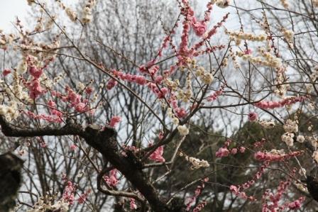 二条城源平咲き分け梅_H25.03.17撮影