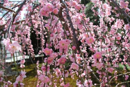 西本願寺の枝垂れ梅_H25.03.17撮影
