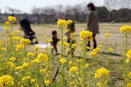 梅小路公園の菜の花_H25.03.17撮影