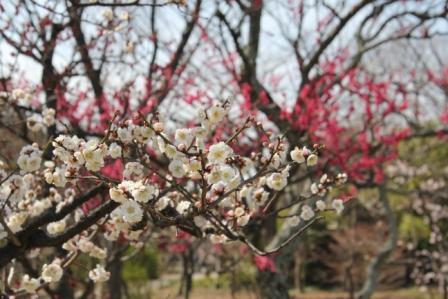 梅小路公園の白梅_H25.03.17撮影