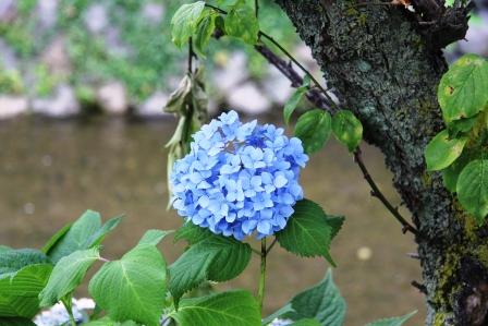 祇園白川の紫陽花_H25.06.15撮影