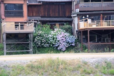 鴨川の紫陽花 H25.06.15撮影